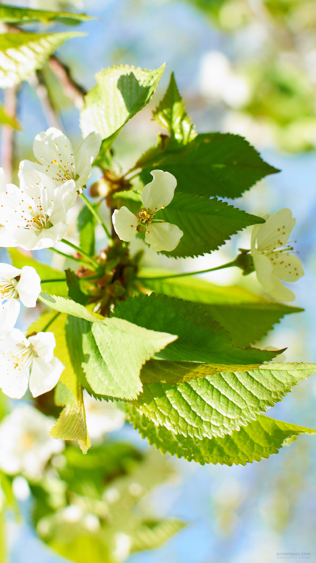 Apple Tree Flowers Wallpaper Apple Tree Flowers Galaxy S4 Download