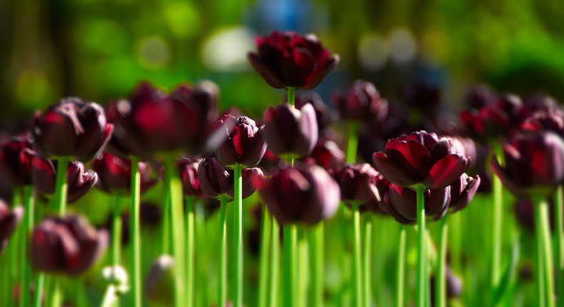Dark Purple Tulips Download High Quality HD Wallpapers For Free