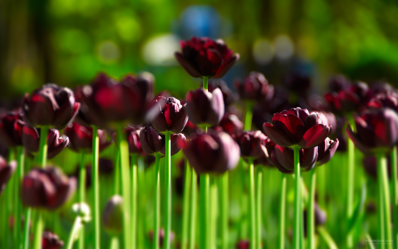 dark purple tulips 1680x1050 download high quality hd wallpapers for